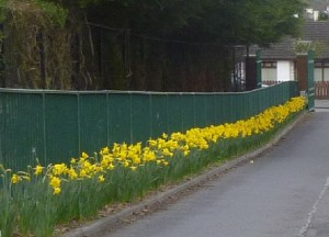 daffodils saint ronans